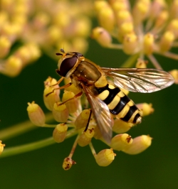 Hoverfly visiting Fennel