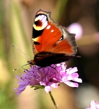 Peacock Butterfly feeds from scabious