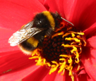 Bumblebee forages for pollen from Dahlia bishop of Llandaff