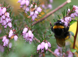 Erica carnea (Winter flowering Heather)