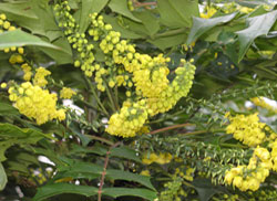 Mahonia hybrid in January