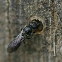 Harebell Bee Chelostema Campanularum