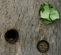 Nest cell of leafcutter Bee, Megachile