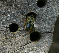 Leafcutter bee (Megachile) investigates tunnel in log