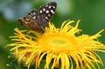 Inula florets are visited by butterflies such as this Speckled Wood.