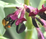 Bumblebee visits lipped flower of Broad Bean, Vicia faba
