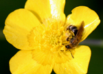 Mining Bee (Andrena) collecting pollen from a Buttercup