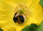 bumblebee worker collects pollen from a Welsh Poppy, Meconopsis cambrica