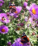 Red Admiral butterflies drink nectar from Aster novae angliae