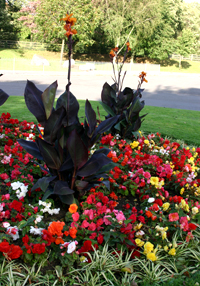 Bedding plants and Cannas do not attract pollinators