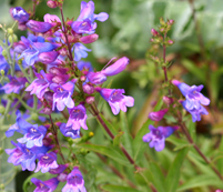 Penstemon heterophyllus attracts pollinating insects