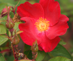 Rosa Scharlachglut will provide pollen for bees