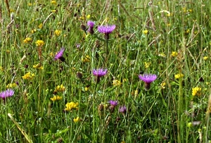 A wild flower meadow - grassland containing perennial wildflowers