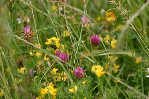 Red Clover, Bird's Foot Trefoil, in a wild flower meadow