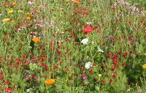 Annual cornfield flower mix of hardy annuals