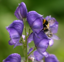 Aconitum or Monkshood. The shape of this flower fits long-tongued bumblebees