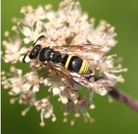 Solitary Mason Wasp visits angelica