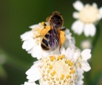 Mining Bee Colletes forages form Achillea ptarmica