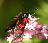 Six Spot Burnet moth feeds from Wild Marjoram