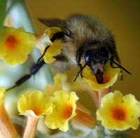Common carder Bumblebee drinks nectar with its proboscis