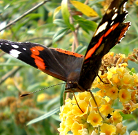 Red Amiral Butterfly feeds from buddleja weyeriana