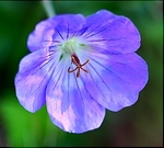 Geranium is a bowl-shaped flower that produces nectar for bumblebees