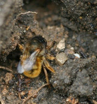 Red Mason Bee Quarries For Mud