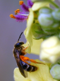 Lasioglossum Bee collects pollen from verbascum