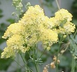 Thalictrum flavum used as a pollen source by bumblebees