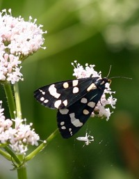Scarlet Tiger Moth on Valerian